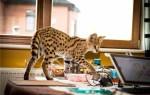 Сколько стоит кошка породы сервал?