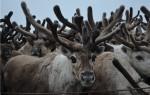 Сколько стоит живой олень?