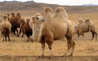 Сколько стоит верблюд?
