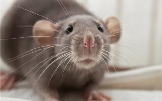 Сколько стоит крыса дамбо?