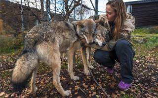 Сколько стоит волк?