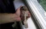 Сколько стоит домашняя сова?
