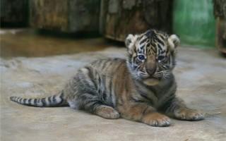 Сколько стоит живой тигрёнок?