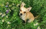 Сколько стоит щенок чихуахуа?