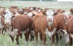 Сколько стоит живая корова?