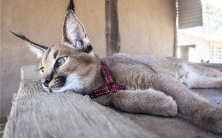 Сколько стоит кошка каракал?
