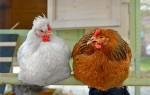 Сколько стоит живая курица несушка?