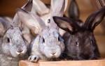 Сколько стоит живой кролик для разведения?