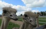 Сколько стоит живой страус?