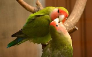 Сколько стоит попугай неразлучник?