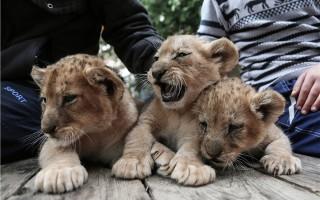 Сколько стоит живой львёнок?