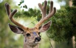 Сколько стоят рога оленя?