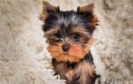 Сколько стоит щенок йоркширского терьера?