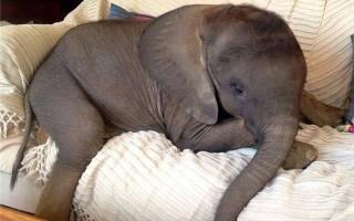 Сколько стоит живой слон?
