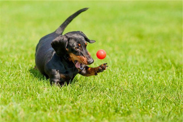 сколько стоит такса щенок в россии