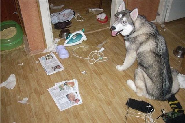 сколько стоит собака сибирский хаски