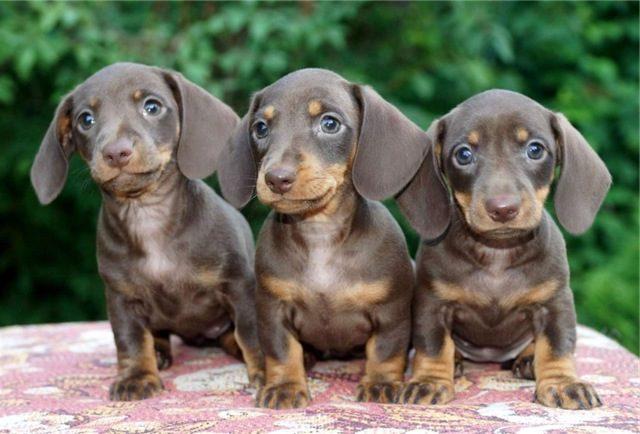 сколько стоит такса щенок в рублях